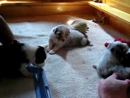 australian shepherd 4 weeks old australian shepherd puppies 3 weeks old v 2 youtube