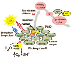 What Happens During The Light Dependent Reactions Of Photosynthesis Light Dependent Reactions Of Photosynthesis Capp