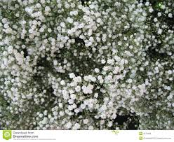 Baby Breath Baby U0027s Breath Royalty Free Stock Photography Image 2053277
