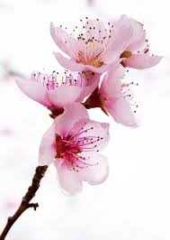 cherry blossom flowers 530 best blossom images on beautiful flowers