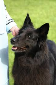 belgian shepherd national specialty bsca specialty results for 2004