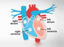 Diagram Heart Anatomy Pinterest 상의 Heart Anatomy에 관한 상위 45개 이미지 피 텍사스