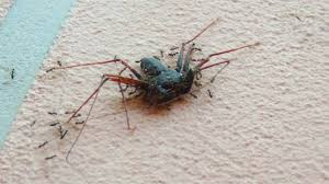 tailless whip scorpion vs ants being attacked from all sides in my