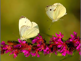 butterfly with flowers wallpapers al068b alhuda wallpaper