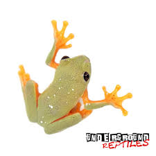 baby black eyed tree frog for sale reptiles