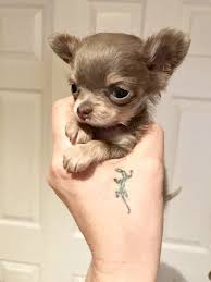 chorkie haircut styles pin by tasha on dogs pinterest blue chihuahua and animal