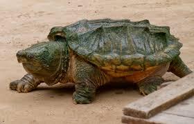 Texas Map Turtle Fauna Of Louisiana Wikipedia