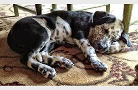 american pitbull terrier dalmatian mix dalmation mix puppy puppies puppy overload