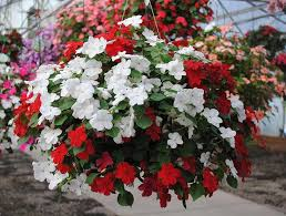 Best Plants For Hanging Baskets by Best Plants For Hanging Baskets Ideas With Images Flower