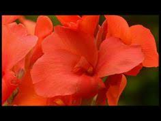 Burke Backyard How To Prune Canna Lilies Canna Lily Flowers And Gardens
