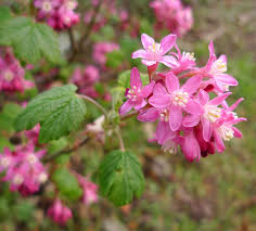wild harvests the news on red flowering currant