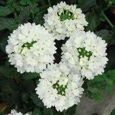 verbena flower buy verbena plants verbena showboat white plants
