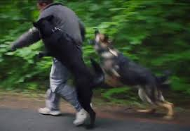 training a belgian sheepdog personal protection dogs working as one german shepherds