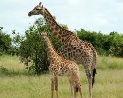 giraffe artiodactyla