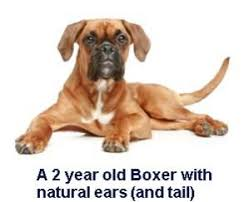 boxer dog price boxer dog ear cropping price age standards