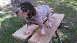 bluetick coonhound puppies for sale in louisiana female 2 jpg