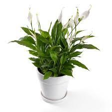 plante dans la chambre 11 plantes vertes dans la chambre contre les troubles du sommeil