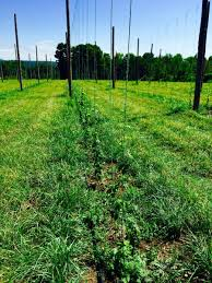 bitter harvest can connecticut hops become a new cash crop the
