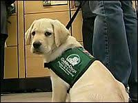 Training A Guide Dog For The Blind Jigsaw A Guide Dogs For The Blind Service Animal In Training