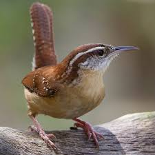 South Carolina birds images Pictures of state birds complete photo gallery wren bird and jpg