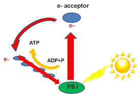 What Happens During The Light Dependent Reactions Of Photosynthesis 11photo