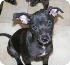 belgian shepherd virginia taco adopted puppy franklin va italian greyhound belgian