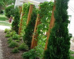 garden pachysandra green sheen pachysandra ground cover
