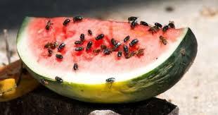 10 trucs pour chasser les mouches et les moucherons cuisine az