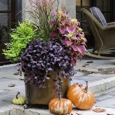 southern living plant collection 2 5 qt purple pixie loropetalum