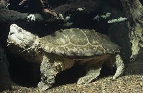 arkive blog alligator snapping turtle