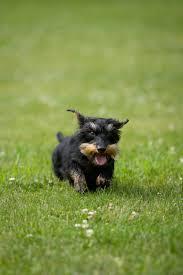 affenpinscher ottawa patsy sophie u0026 lucy u0027s dog photos in manotick elizabeth u0026jane