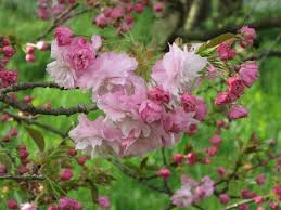 tree with pink flowers prunus pink perfection japanese flowering cherry