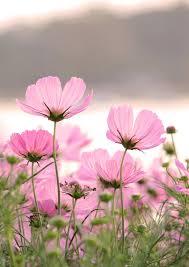 pink flower pink flowers 25 best pink flower photos ideas on pink
