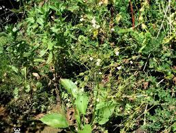 native irish plants alisma plantago aquatica online atlas of the british and irish flora