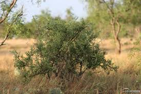 plants of rangelands lotebush blue brush gumdrop tree