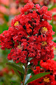 buy enduring summer crape myrtle for sale from wilson