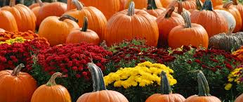 Chesterfield Pumpkin Patch 2015 by Home Van Thomme U0027s Greenhouses