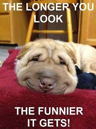 bichon frise meme here u0027s some pictures of animal memes fun animals wiki videos