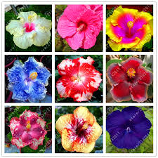 Flower Seeds Online - online buy wholesale hibiscus flower seeds from china hibiscus