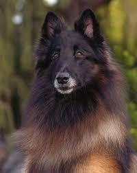 belgian sheepdog dogtime best 25 belgian shepherd ideas only on pinterest belgian dog