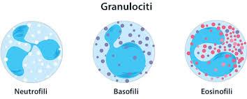 leucociti a tappeto granulociti jpg