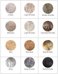 brindle cairn haircut image result for cairn terrier colors cairn terrier pinterest