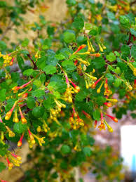 native plants northern california ribes aureum gracillimum golden currant berries and flowers for