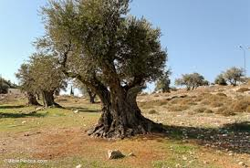 olive trees bibleplaces