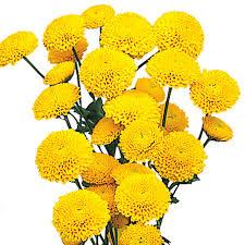 Yellow Pom Pom Flowers - pom poms button yellow wholesale chrysanthemums