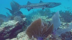 Florida snorkeling images Snorkeling a living coral barrier reef in the florida keys large jpg