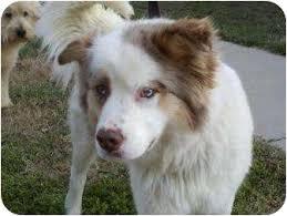 adopt a australian shepherd juno adopted dog tia brattleboro vt australian shepherd