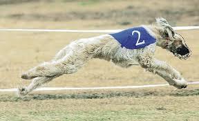 afghan hound club of st louis lgra u0027s record wins