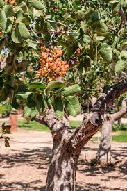 what does a pistachio tree look like top tips