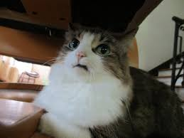 Horrified Meme - what a horrified and slightly disgusted look my cat has cats